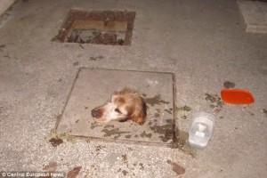 Hewan yang Terjebak di Manhole Cover
